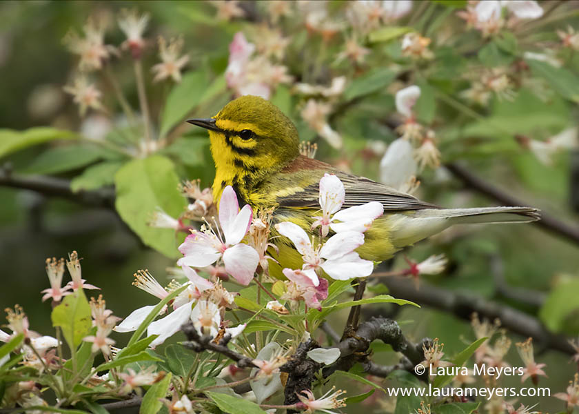 Male Prairie Warbler in flowering Crab Apple Tree