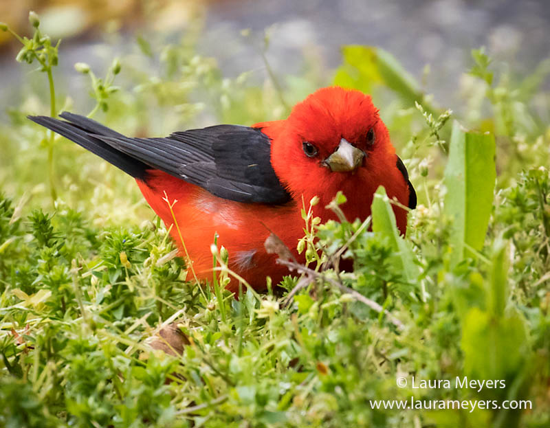 Male Scarlet Tanager in the Grass
