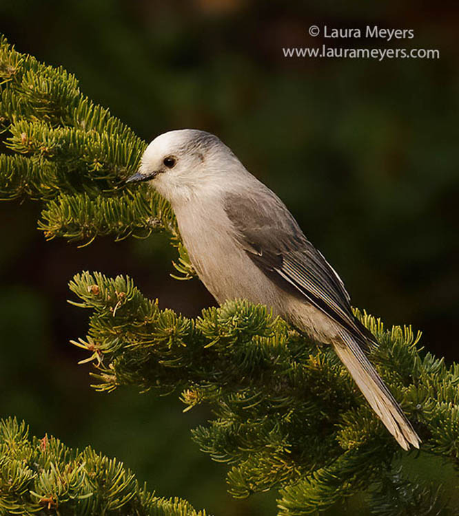 Canada Jay on branch