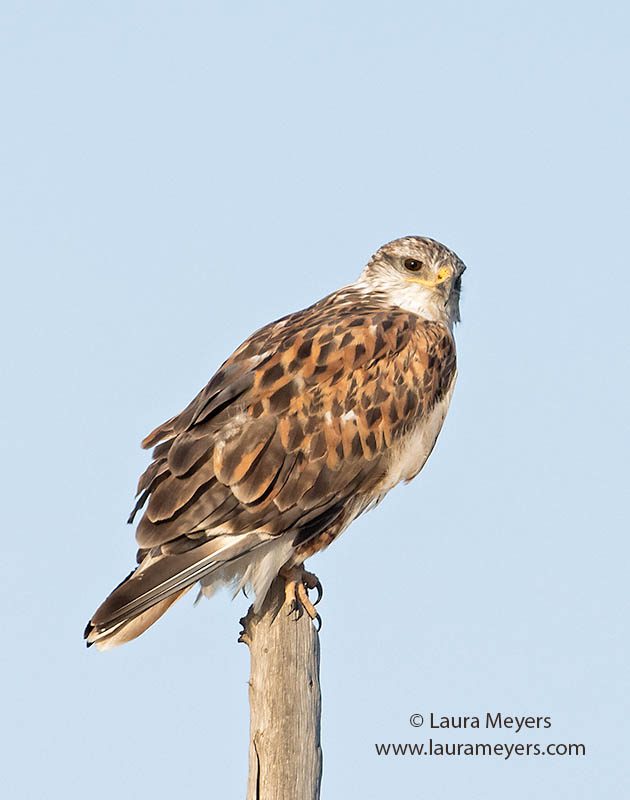 Ferruginous Hawk on Pole