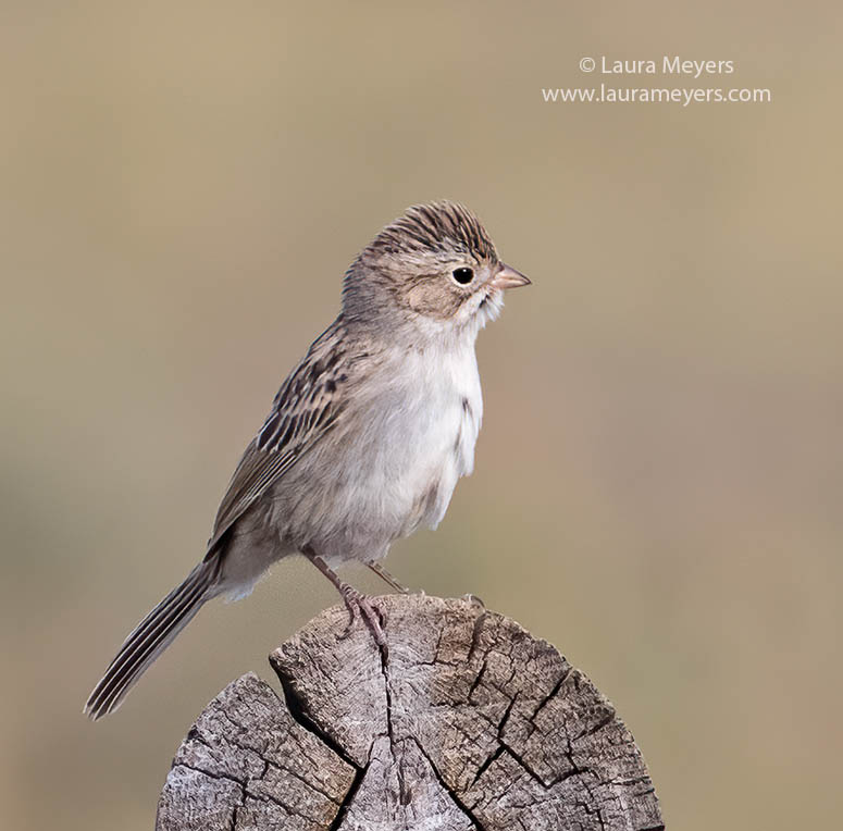 Brewer's Sparrow on a log