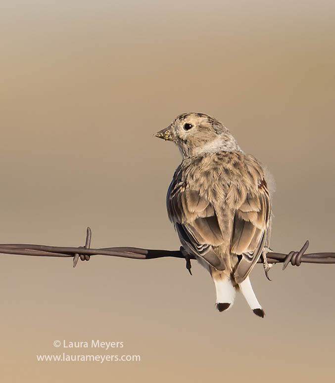 McCown's Longspur perched on barbed wire.