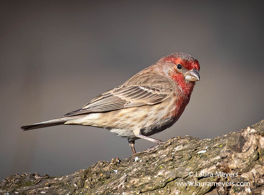 Male House Finch on Branch