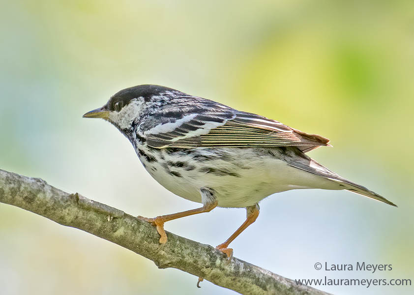 Male Breeding Blackpoll Warbler on Branch.