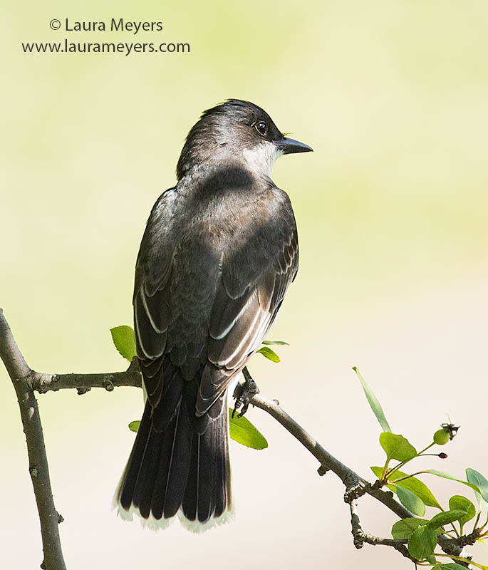 Eastern Kingbird on a branch